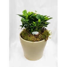 Gardenia 13/ 25cm With Pot