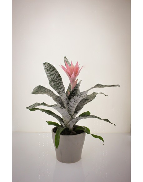 Aechmea 15/65cm With Pot