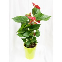 Anthurium Plant 12/40 Cm In Pot