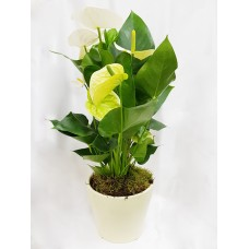 Anthurium Plant 14/55cm In Pot