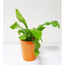 Asplenium Nidus 12/35cm With Pot