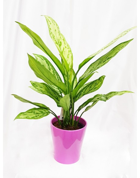 Aglaonema Plant 12/30 cm with Pot