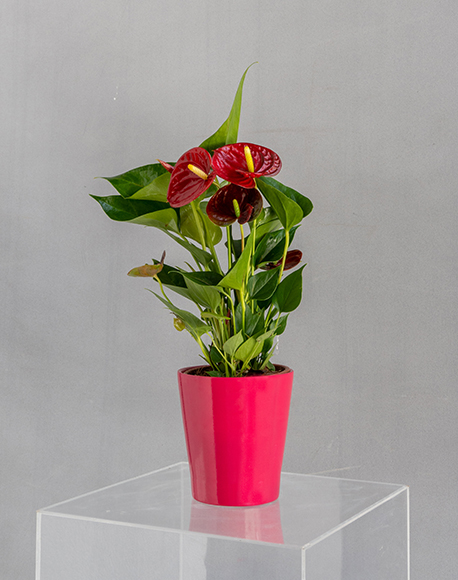 Red Anthurium Piccolo in a pot