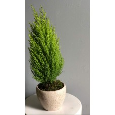 Cupressus Plant 12/50 Cm With Pot