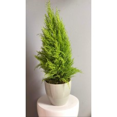 Cupressus Plant 17/85 Cm With Pot