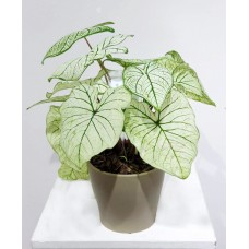 Caladium Misc. Mix 17/60cm With Pot