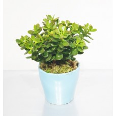 Crassula Green 13/28cm With Pot