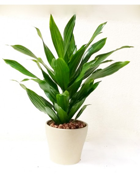 Dracaena Compacta Green 17/55cm With Pot