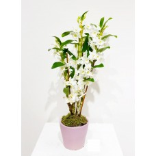 Orchid Dendrobium Plant with pot