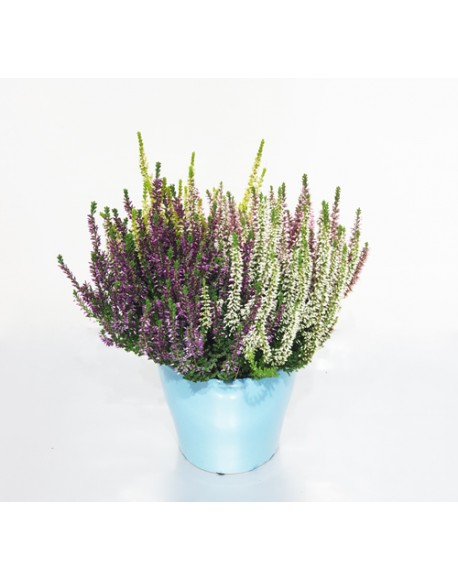 Erica Calluna 13/25 Cm With Pot