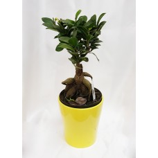 FICUS MICROCARPA GINSENG 14/35cm with Pot