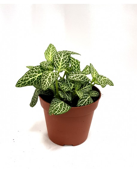 Fittonia Mix 5/10cm