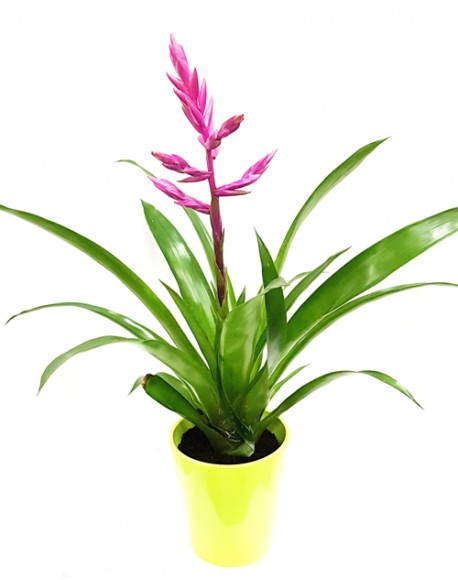 Guzmania Mix 12/50cm With Pot