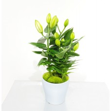 Lily Oriental 13/40cm With Pot