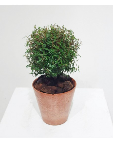 Myrtus Communis 12/35cm with pot