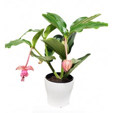 Medinilla Plant With Pot