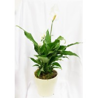 Spathiphyllum 13/60 cm with pot