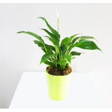 Spathiphylum 9/30 With Pot