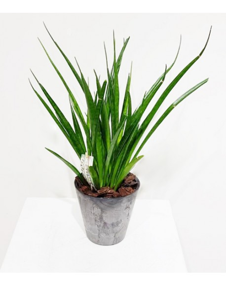 Sansevieria Kirki Friends 15/45cm With Pot