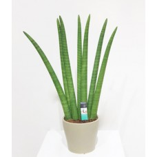 Sansevieria Cylindrica 17/70cm With Pot