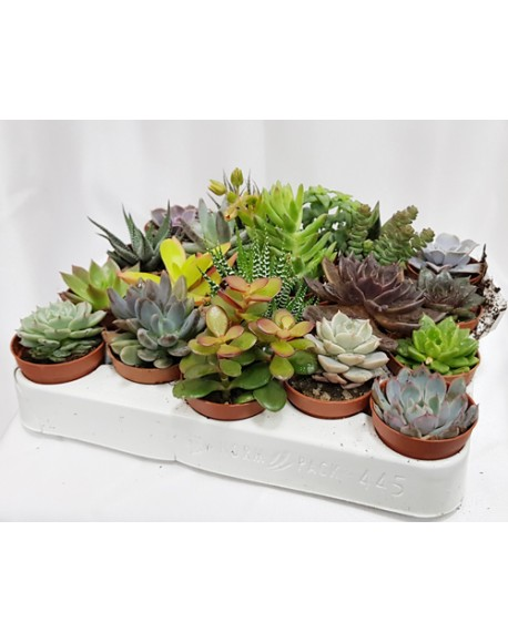 Succulenten 9/12cm Single Plant