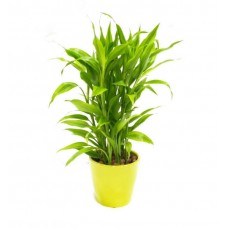 Sandriyana Plant 12/45 Cm With Pot
