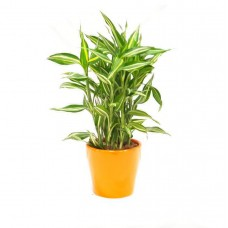 Sandriyana Plant 12/50 Cm With Pot