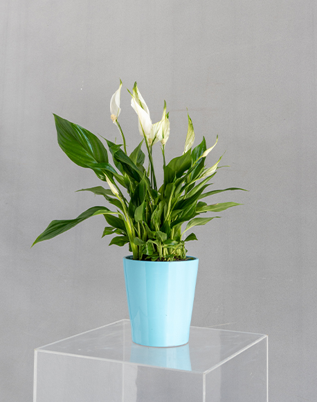 Spathiphyllum Bellini in a pot